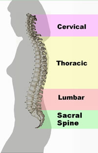 Regions of the spinal column