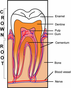cross section of a tooth showing enamel, dentine, pulp, gum, cementum